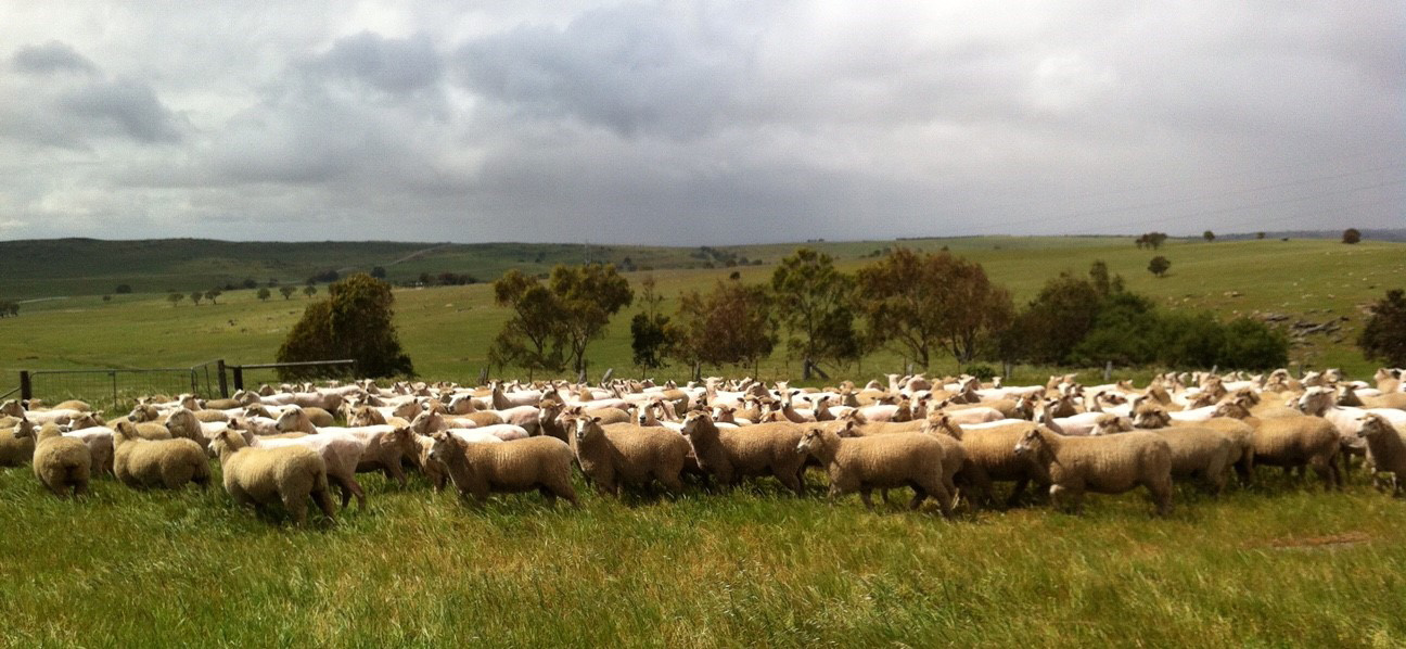 Bottlesford Mixed Farming - Merino and Prime Lamb Sheep
