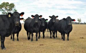 Group-angus-cows-web400