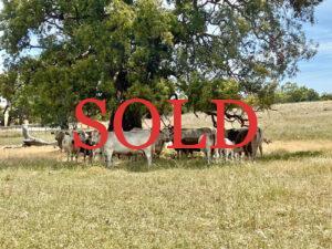 sale-cowsweb500