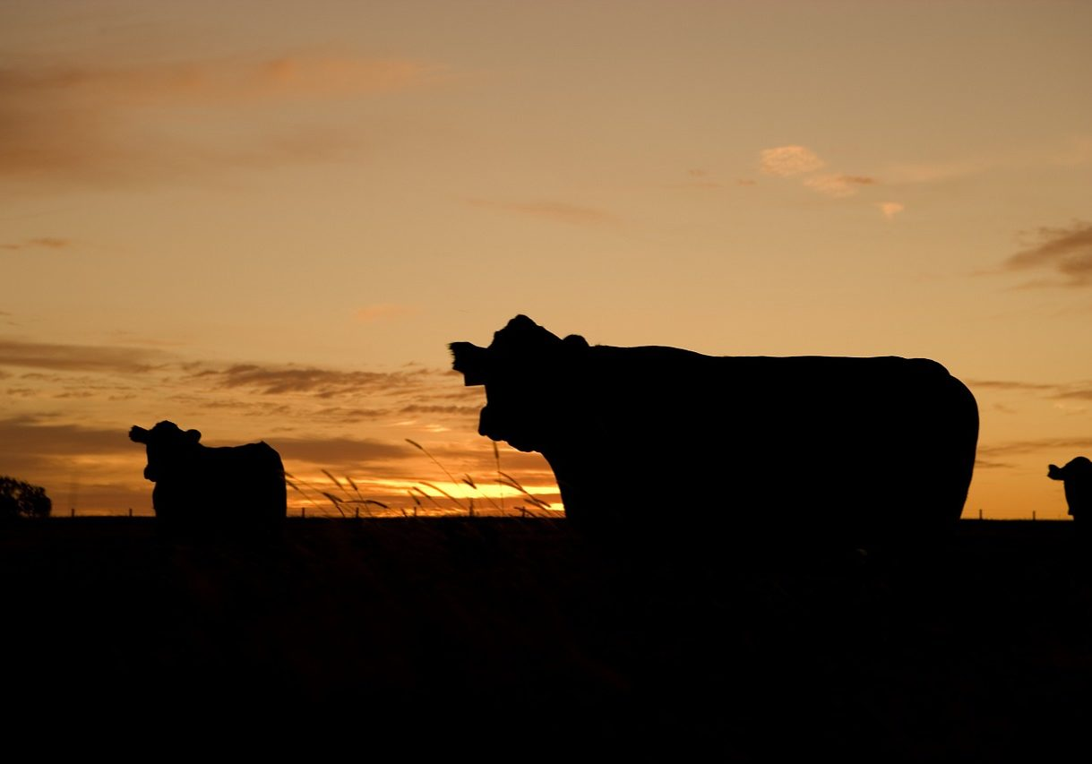 cattle, grazing, silhouettes